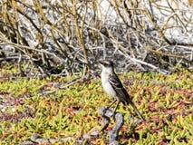 加拉帕戈斯模仿鸟, Nesomimus parvulus,寻找在分支的食物,圣克鲁斯,加拉帕戈斯群岛,厄瓜多尔 免版税库存图片