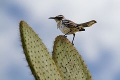 加拉帕戈斯模仿鸟Mimus parvulus,赫诺韦萨岛,加拉帕戈斯群岛,厄瓜多尔 免版税库存图片