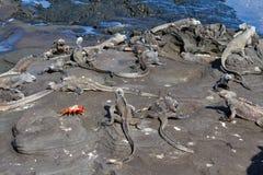 加拉帕戈斯海产鬣蜥蜴与萨莉Lightfoot螃蟹的喙cristatus在熔岩岩石,加拉帕戈斯群岛 免版税库存照片