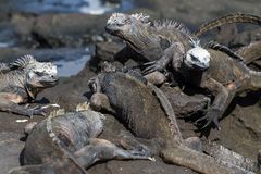 加拉帕戈斯海产鬣蜥蜴在熔岩岩石,加拉帕戈斯群岛的喙cristatus 免版税库存图片