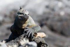 加拉帕戈斯海产鬣蜥蜴在熔岩岩石,加拉帕戈斯群岛的喙cristatus 免版税图库摄影