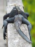 加拉帕戈斯海产鬣蜥蜴,喙cristatus,基于路轨在加拉帕戈斯群岛,厄瓜多尔 免版税库存图片