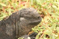 加拉帕戈斯海产鬣蜥蜴-加拉帕戈斯群岛 免版税库存照片