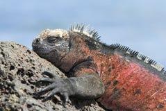 加拉帕戈斯海产鬣蜥蜴 库存照片