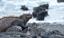 加拉帕戈斯海产鬣蜥蜴 免版税图库摄影