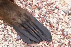 加拉帕戈斯海狮关闭,爪子 免版税库存图片