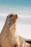 加拉帕戈斯海狮姿势 库存图片