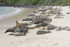 加拉帕戈斯海狮-加拉帕戈斯群岛 免版税图库摄影
