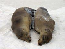 加拉帕戈斯海狮 库存图片