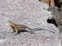 加拉帕戈斯熔岩蜥蜴, Microlophus albemarlensis,是地方性的到加拉帕戈斯群岛 圣克鲁斯,加拉帕戈斯,厄瓜多尔 图库摄影