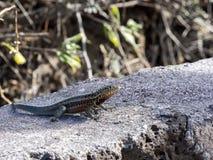 加拉帕戈斯熔岩蜥蜴, Microlophus albemarlensis,是地方性的到加拉帕戈斯群岛 圣克鲁斯,加拉帕戈斯,厄瓜多尔 库存照片