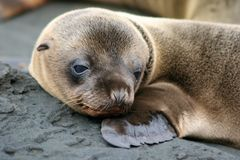 加拉帕戈斯狮子小狗海运 库存图片