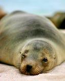 加拉帕戈斯狮子海运 库存照片