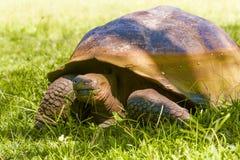 从加拉帕戈斯的巨型乌龟 库存照片