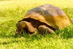 从加拉帕戈斯的巨型乌龟 库存图片