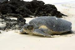 加拉帕戈斯绿海龟 库存照片
