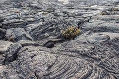 加拉帕戈斯群岛火山岩形成用仙人掌 免版税图库摄影