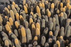 加拉帕戈斯群岛熔岩仙人掌 免版税库存照片