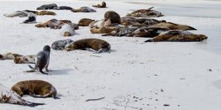 加拉帕戈斯群岛狮子海运 免版税库存图片