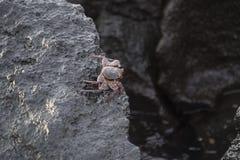 加拉帕戈斯群岛萨莉Lightfoot螃蟹 图库摄影