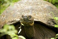 加拉帕戈斯草龟吃 库存图片