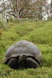 加拉帕戈斯草龟或加拉帕戈斯巨型草龟(Chelonoidis老黑) 免版税库存照片