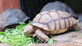加拉帕戈斯草龟 大乌龟 动物的概念在动物园里 芭达亚动物园,泰国 股票录像