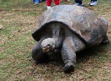 加拉帕戈斯草龟@澳大利亚爬行动物公园 免版税库存照片