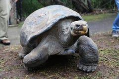 加拉帕戈斯草龟@澳大利亚爬行动物公园 库存照片