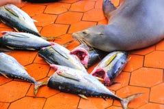 加拉帕戈斯说谎在鱼市上的海狮在S的Puerto阿约鲁 免版税库存照片