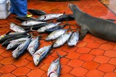 加拉帕戈斯说谎在鱼市上的海狮在S的Puerto阿约鲁 免版税库存图片