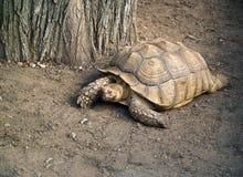 加拉帕戈斯陡壁峡口蛇头草属巨型老黑草龟 库存照片