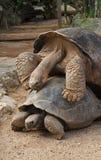 加拉帕戈斯陡壁峡口蛇头草属拉丁命名老黑草龟 库存照片