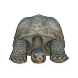 加拉帕戈斯陡壁峡口蛇头草属拉丁命名老黑草龟 免版税图库摄影