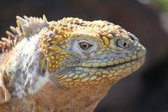 加拉帕戈斯鬣鳞蜥南海岛的广场 免版税库存图片