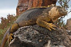 加拉帕戈斯鬣鳞蜥地产 库存图片