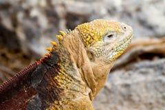 加拉帕戈斯鬣鳞蜥地产 库存照片