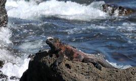 加拉帕戈斯鬣鳞蜥壮观的海军陆战队&# 图库摄影