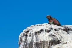 加拉帕戈斯鬣鳞蜥栖息处 库存图片