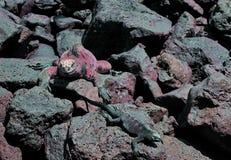 加拉帕戈斯鬣鳞蜥海军陆战队员 免版税图库摄影