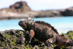 加拉帕戈斯鬣鳞蜥海军陆战队员 库存照片
