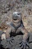 加拉帕戈斯鬣鳞蜥海军陆战队员 库存图片