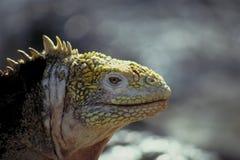 加拉帕戈斯鬣鳞蜥海岛地产 免版税库存照片