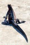 加拉帕戈斯鬣鳞蜥 库存图片