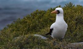 加拉帕戈斯鸟33 免版税库存照片