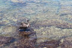 加拉帕戈斯鹈鹕坐岩石 库存照片