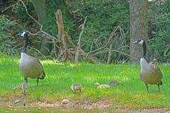 加拿大与婴孩的鹅对 免版税库存照片