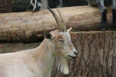 加拿大农厂山羊 库存照片
