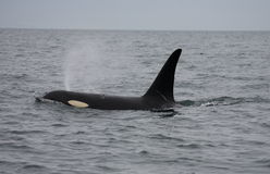 加拿大凶手居民鲸鱼 免版税库存照片