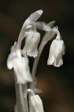 加拿大印第安monotropa安大略管道uniflora 免版税库存图片